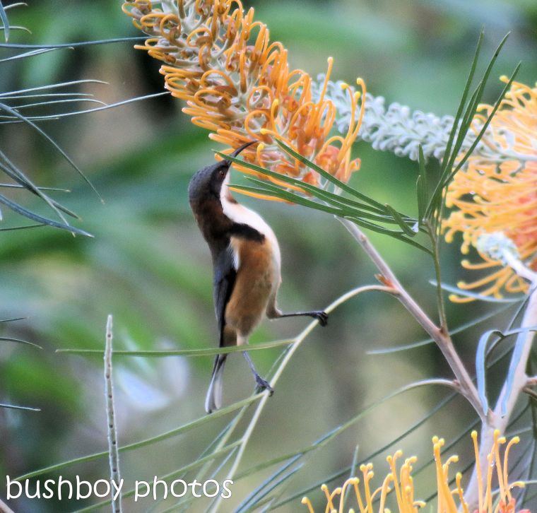 eastern spinebill_named_home_june 2017 (2)
