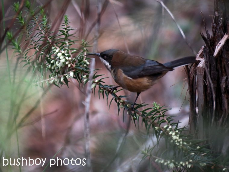 eastern spinebill_named_home_june 2017
