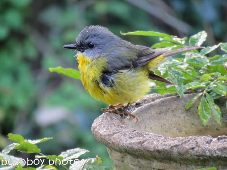 eatern yellow robin_sitting_binna burra_named_june 2017