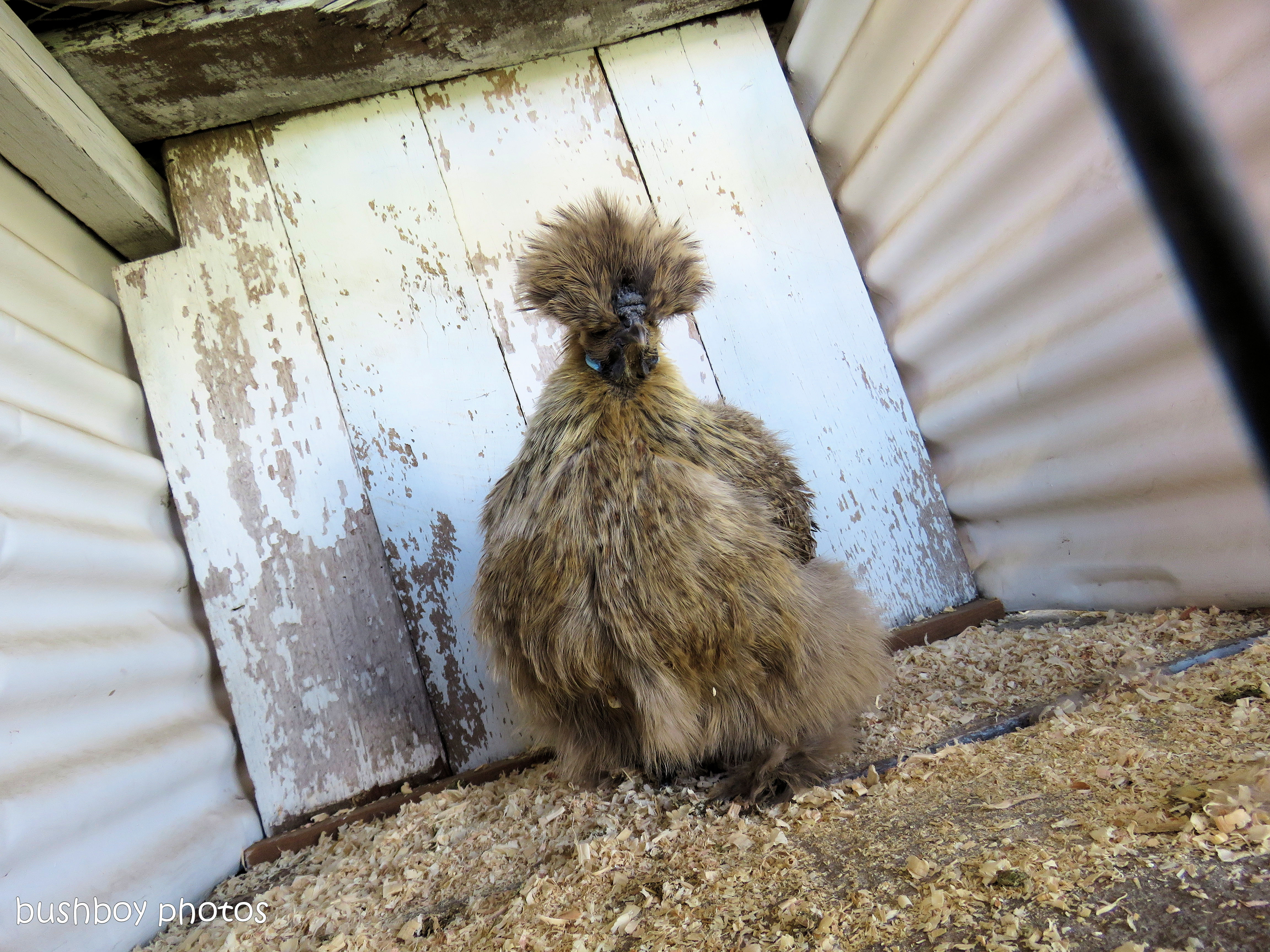 fluffy bantam_grafton show_may 2017
