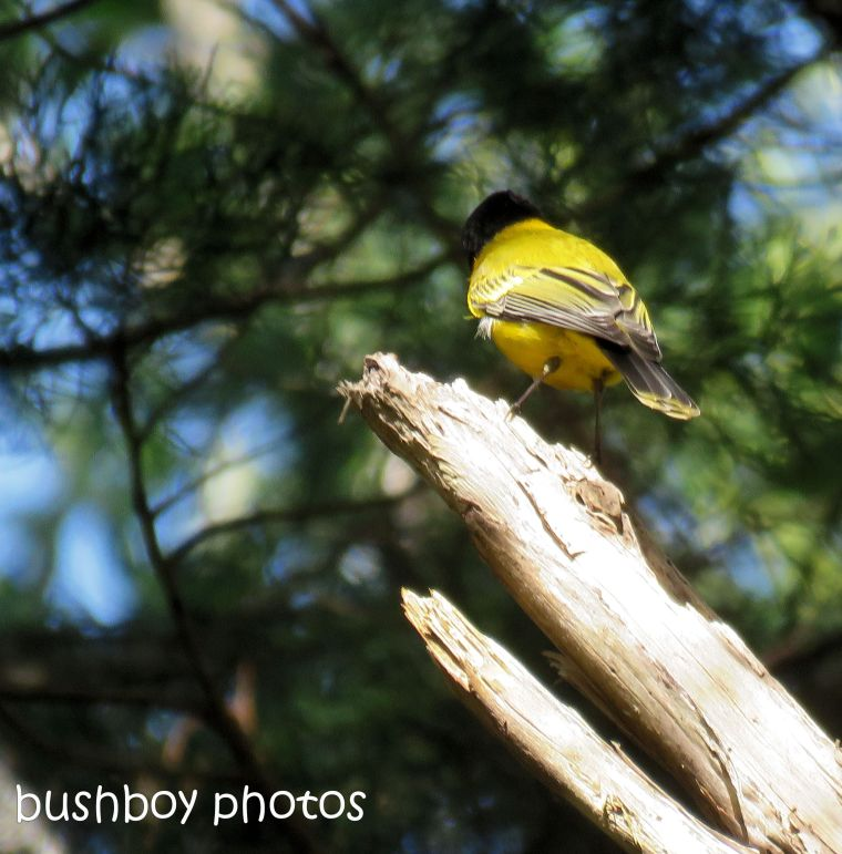 golden whistler_named_binna burra_june 2017