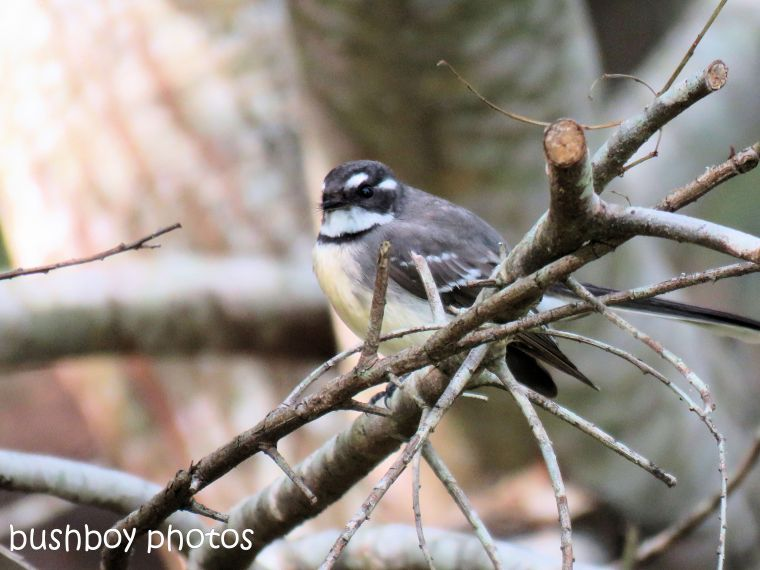 grey fantail_named_binna burra_june 2017