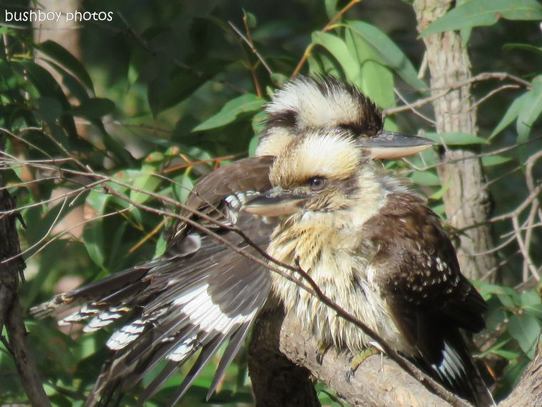 kookaburras02_named_home_june 2017