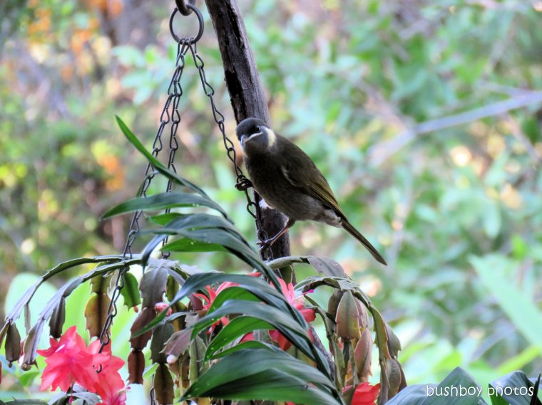lewins honeyeater_named_home_may 2017