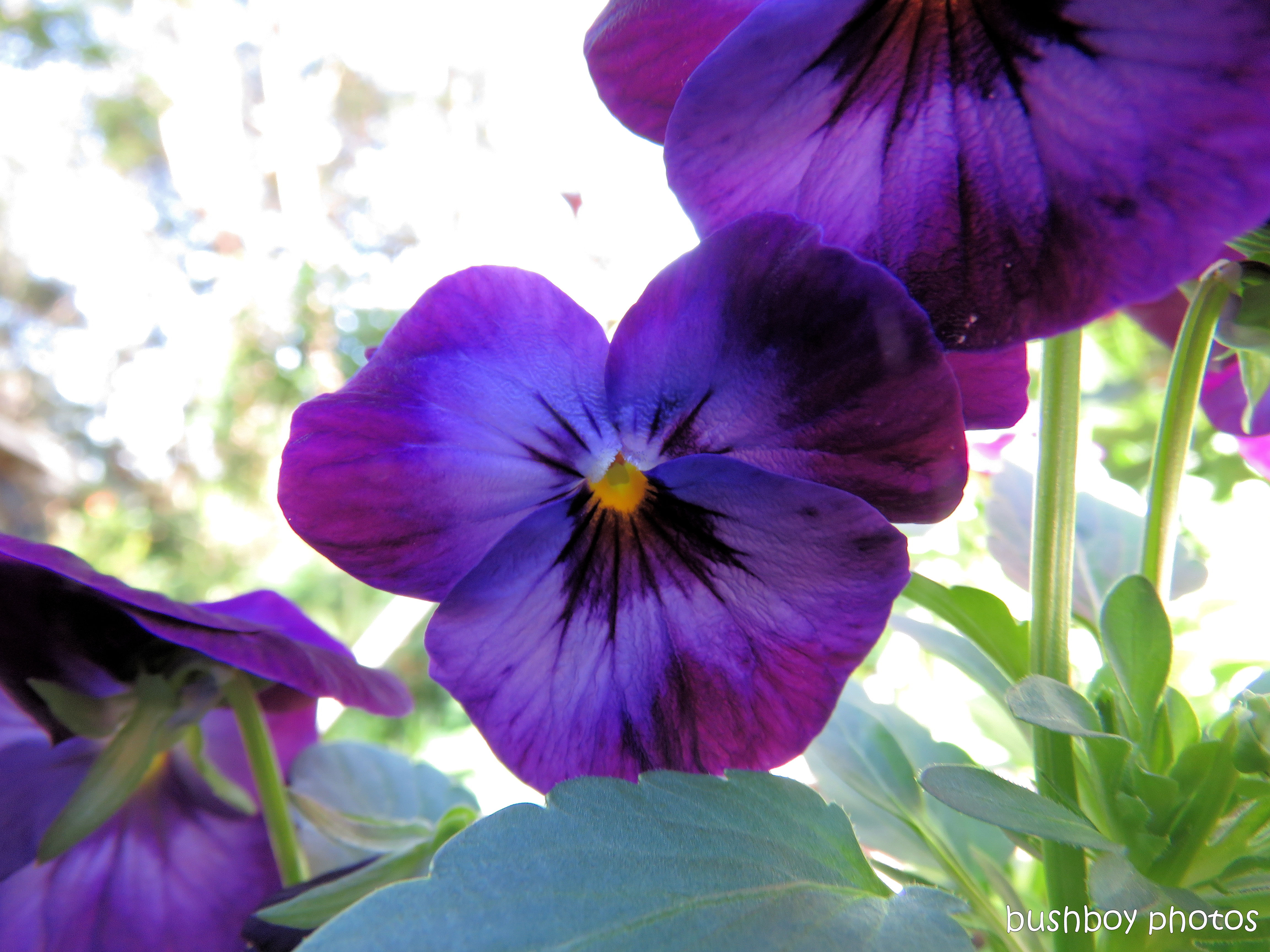 pansy01_named_binna burra_may 2017