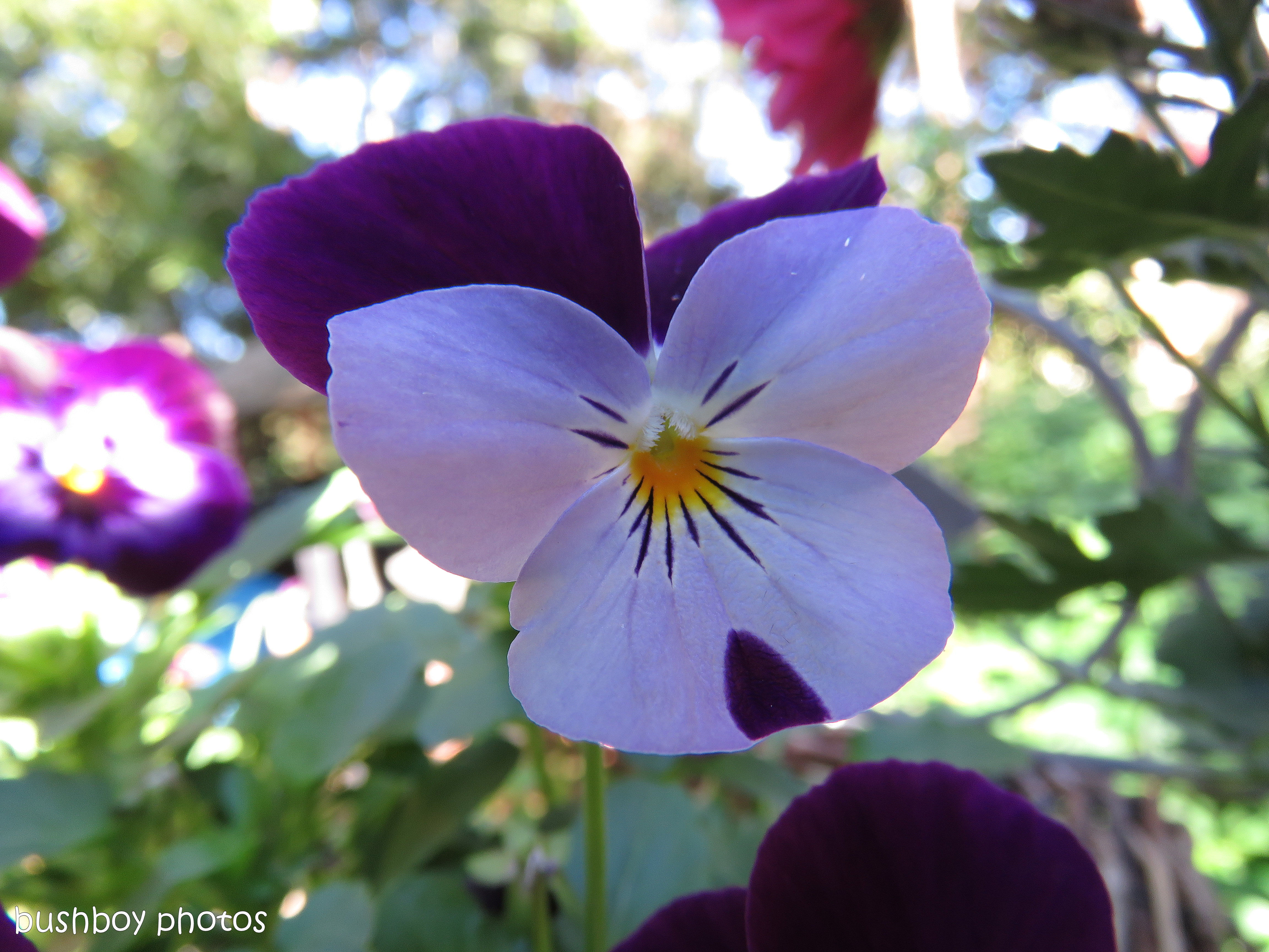 pansy02_named_binna burra_may 2017