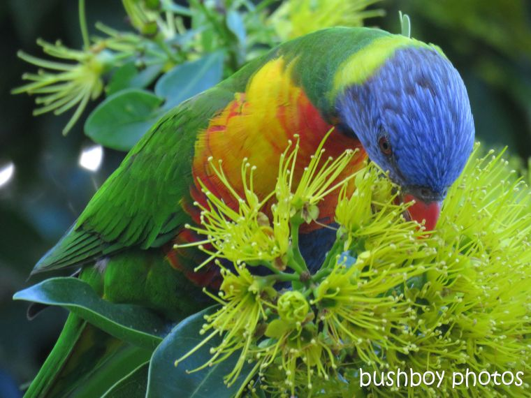 rainbow lorikeet_named_home_june 2017