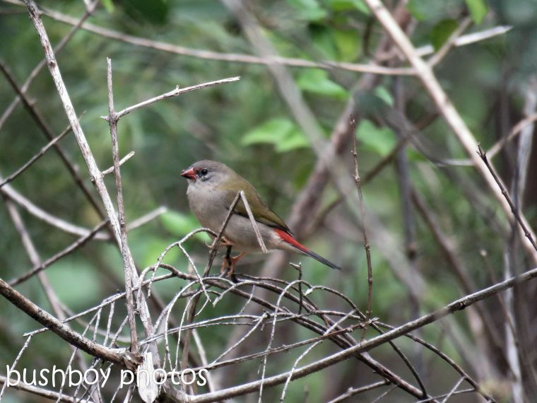 red browed finch01_named_home_june 2017