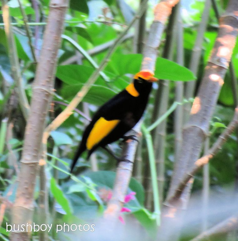 regent bowerbird_named_binna burra_june 2017