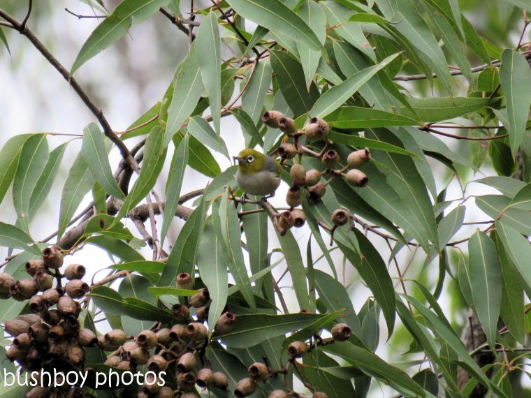 silvereye02_pink bloodwood nuts_named_home_june 2017