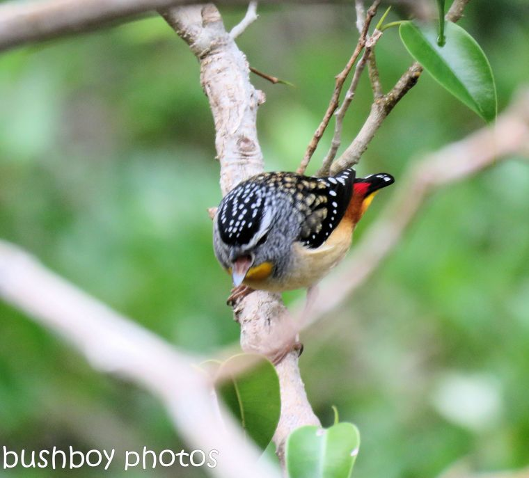 spotted pardalote_named_home_june 2017