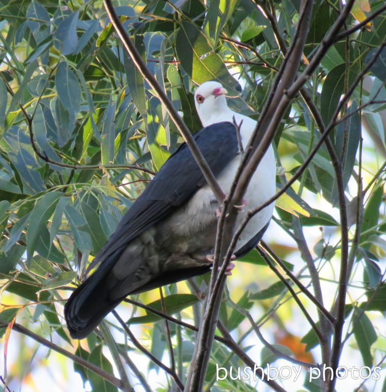 white headed pigeon_named_binna burra_june 2017