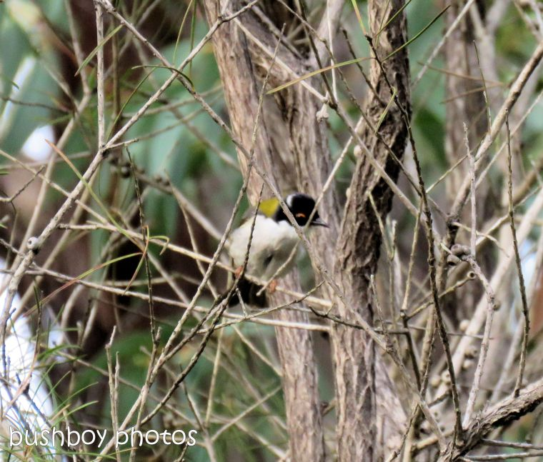 white throated honeyeater_named_home_june 2017
