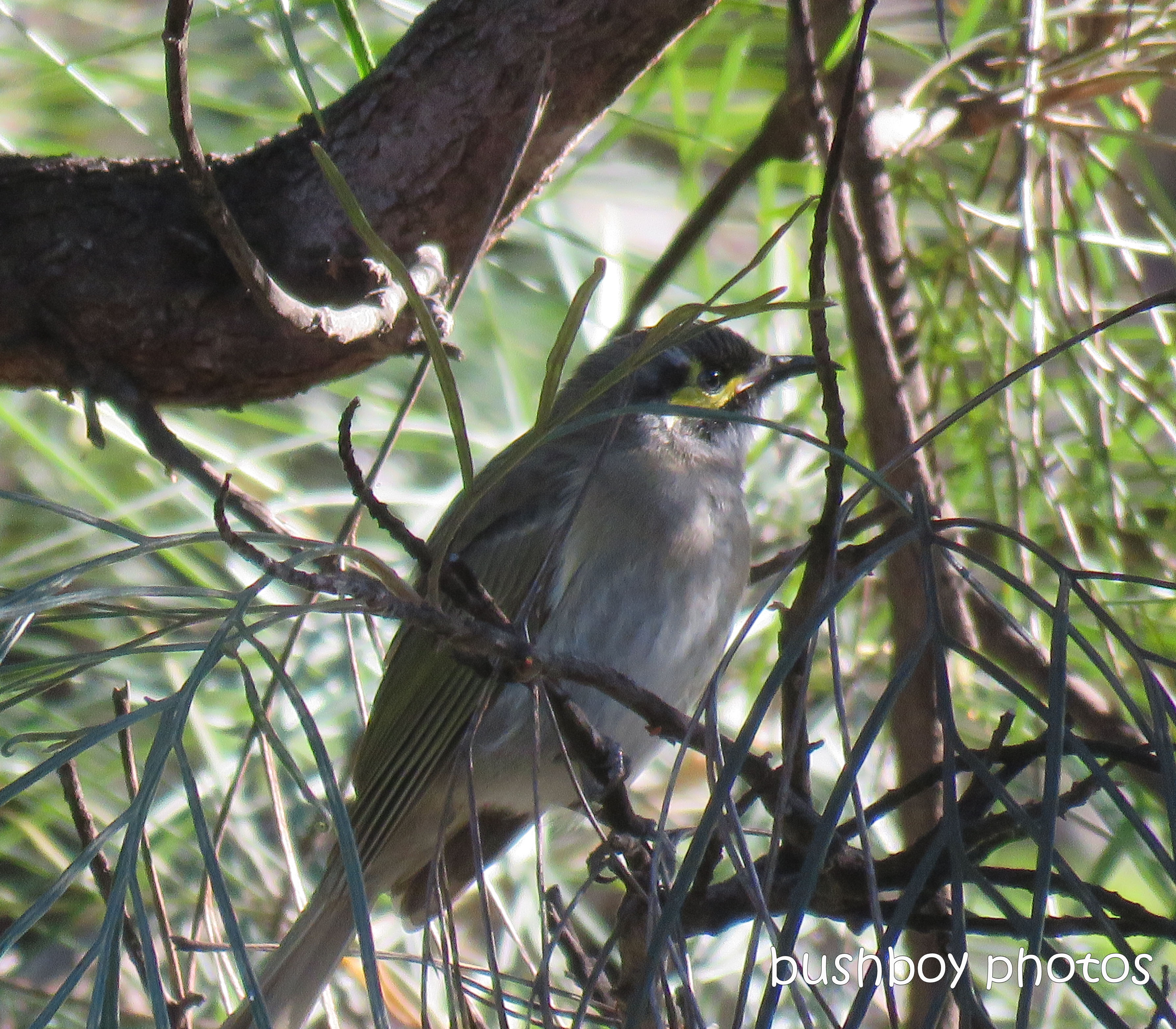 yellow faced honeyeater_named_home_june 2017