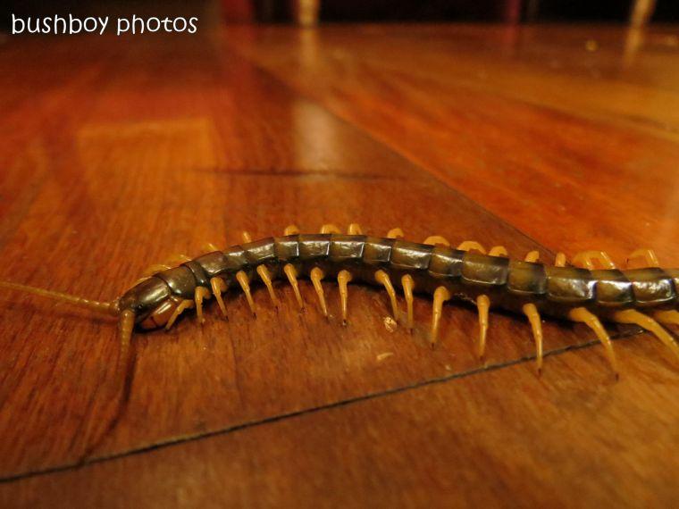 170711_blog challenge_bugs_centipede