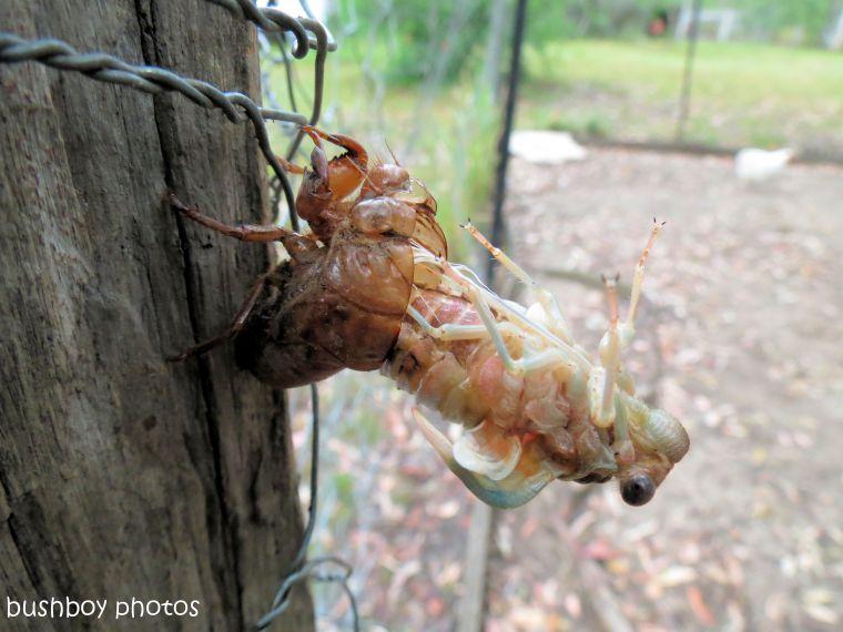 170711_blog challenge_bugs_emerging cicada