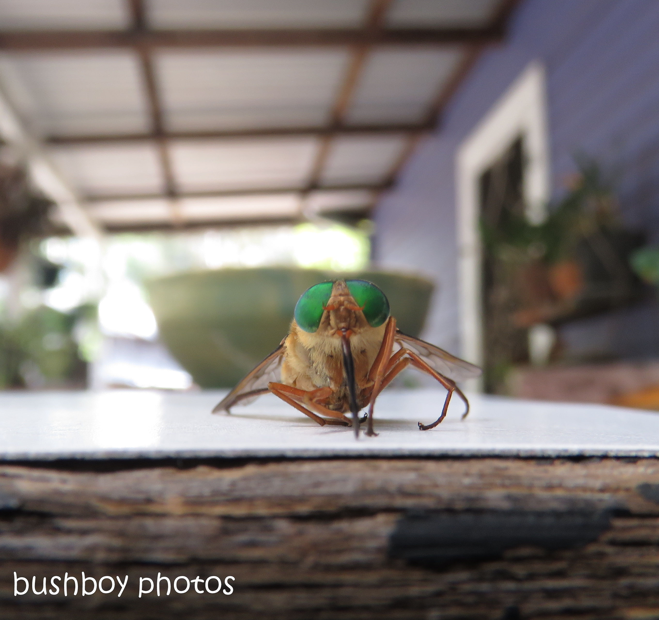 170711_blog challenge_bugs_green eyee fly