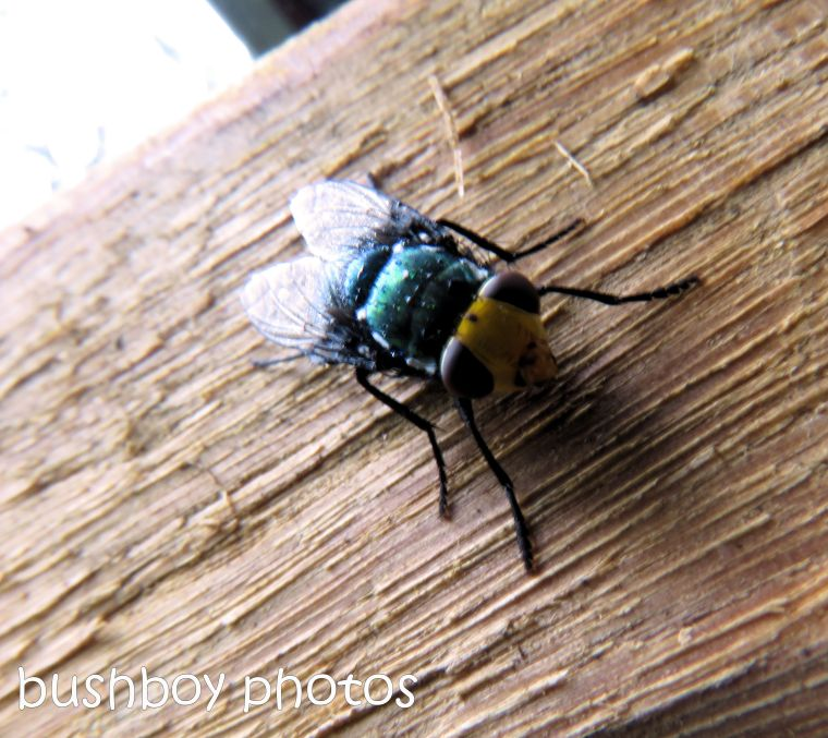 170711_blog challenge_bugs_yellow face fly