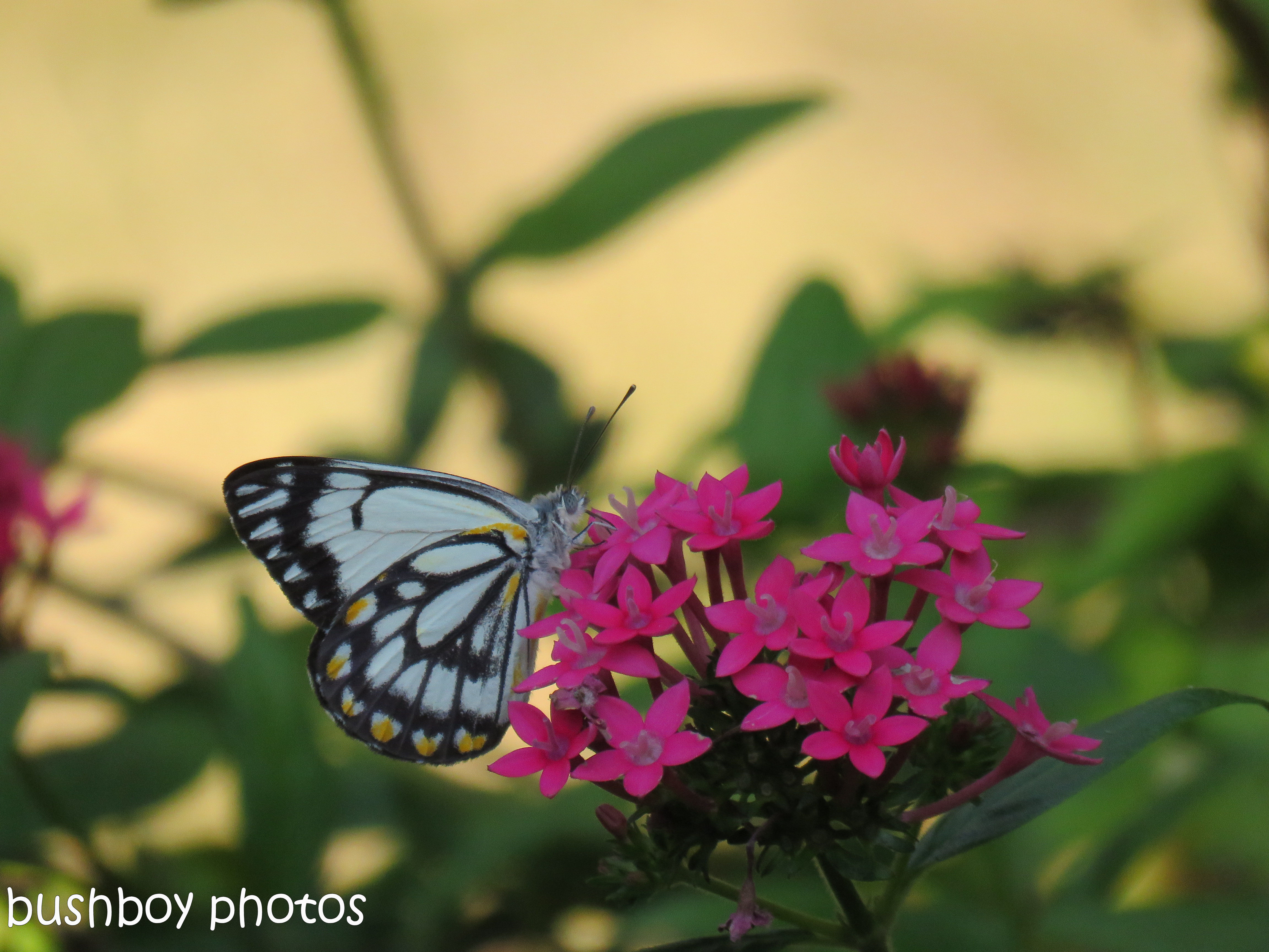 170712_blog challenge_bugs_caper white butterfly