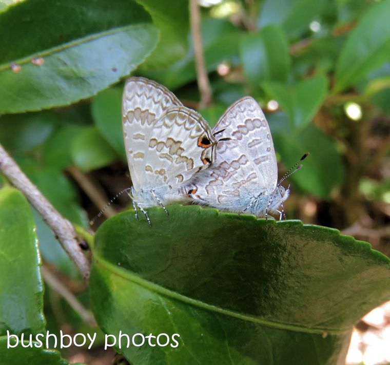 170712_blog challenge_bugs_lineblue butterfly sex