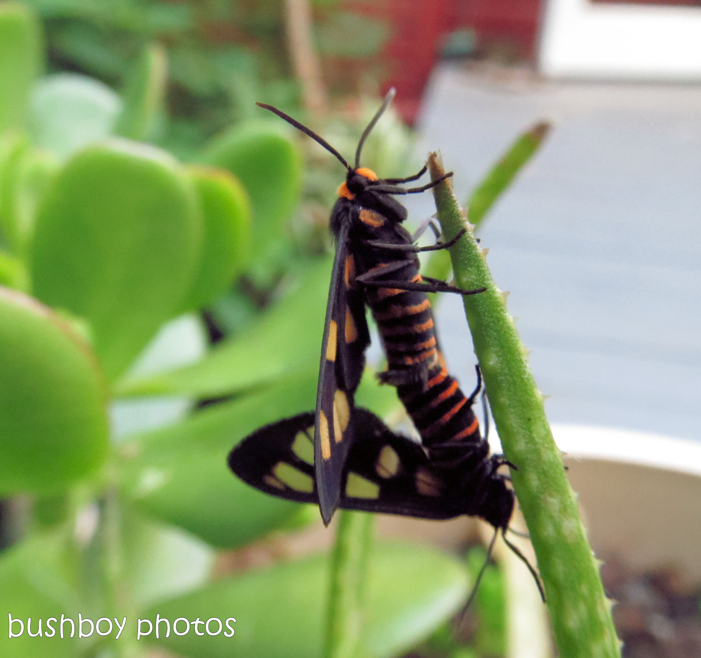 170712_blog challenge_bugs_moth sex