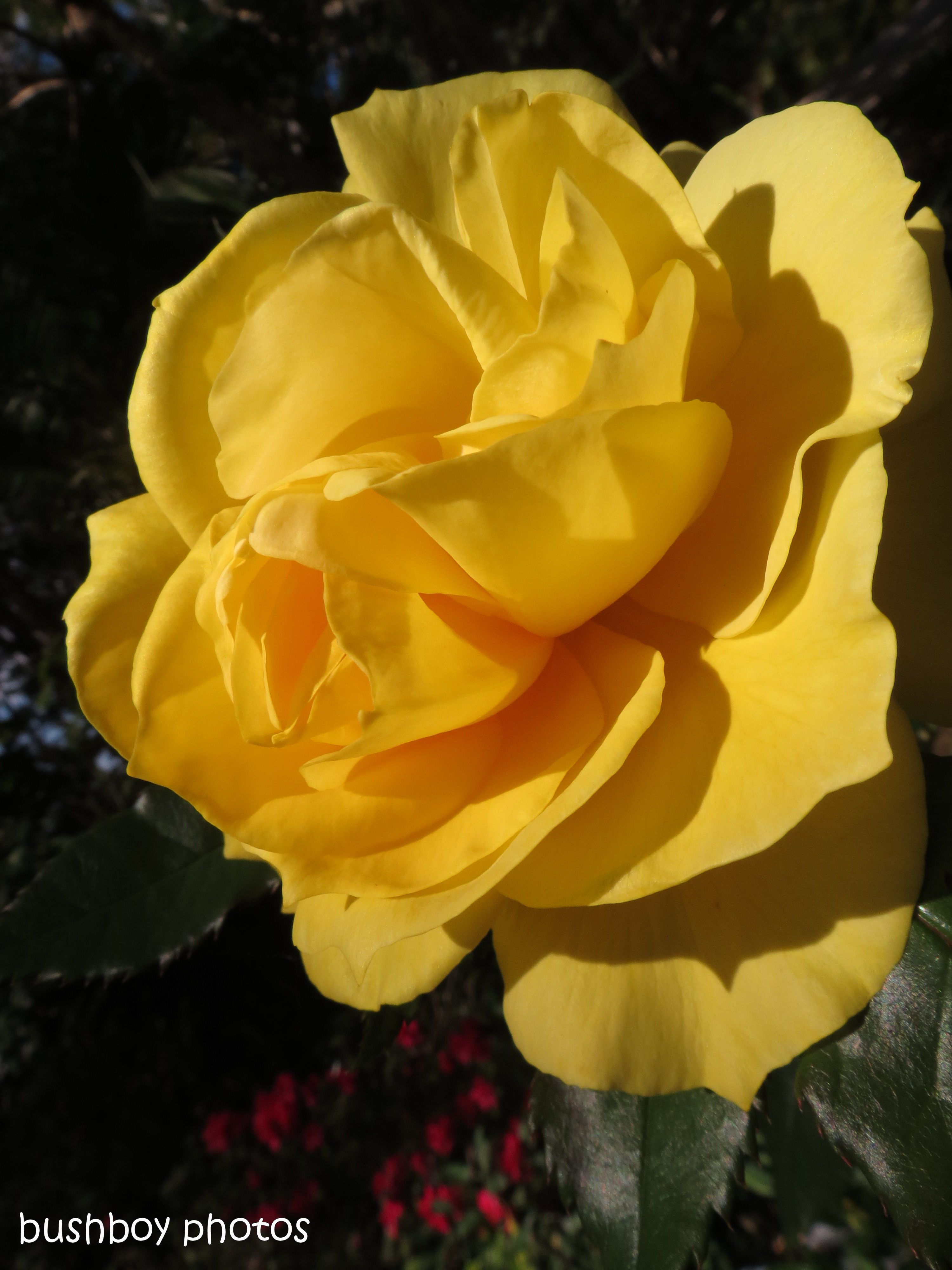 170712_blog challenge_flower of the day_rose