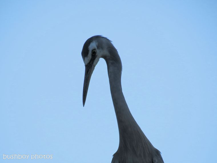 170712_blog challenge_heron_white faced heron_face