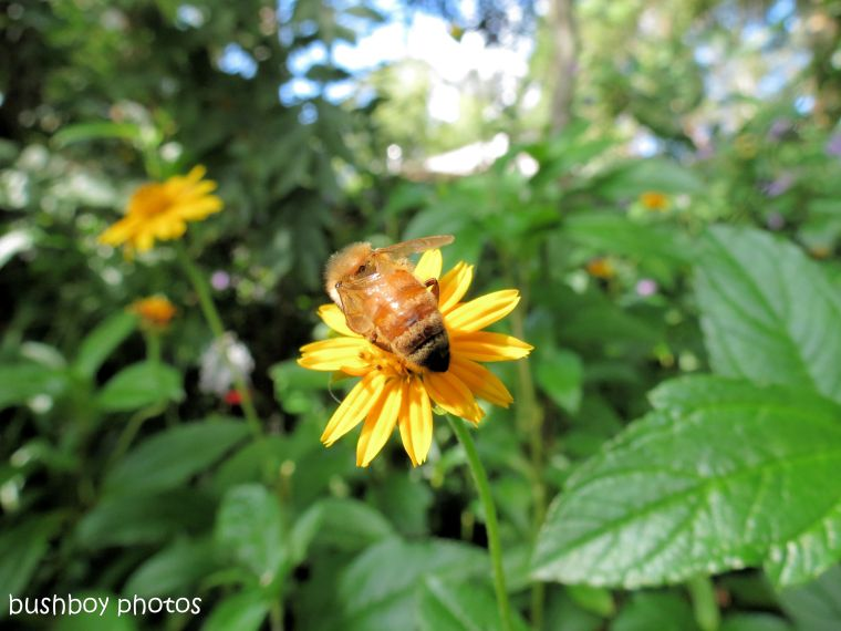 170819_blog challenge_yellow_daisy1_bee