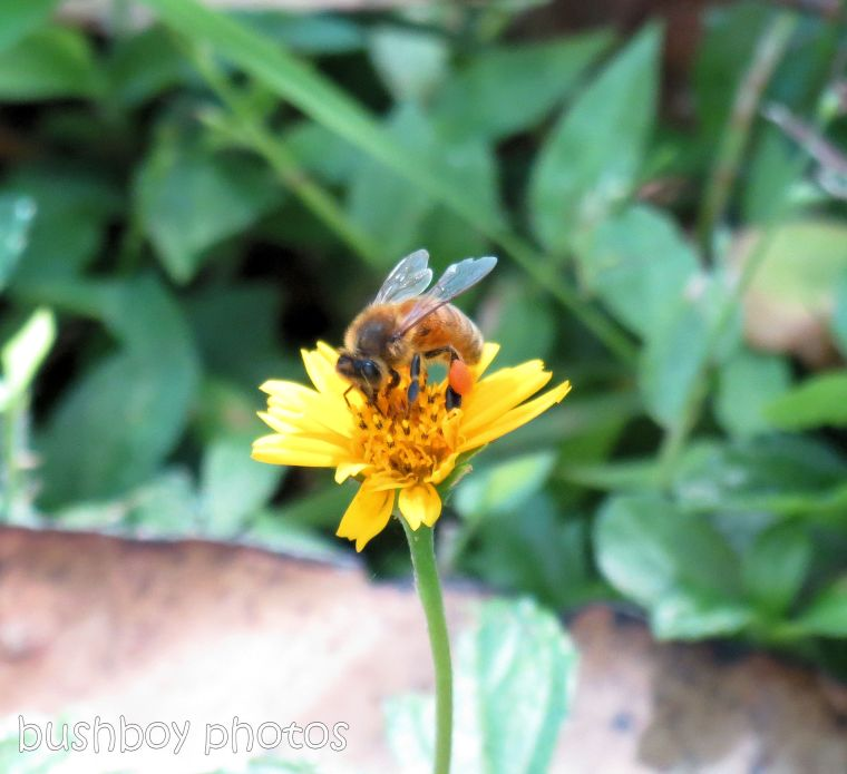 170819_blog challenge_yellow_daisy3_bee