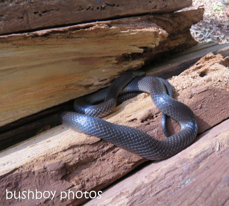 black snake_wood pile_named_binna burra_june 2017