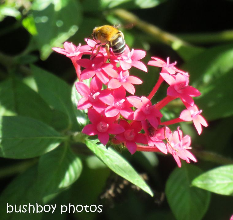 blue banded bee02_pentas_named_home_june 2107
