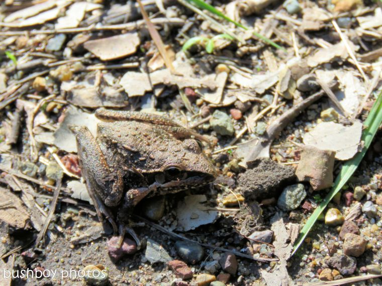 broad-palmed frog03_named_home_june 2017