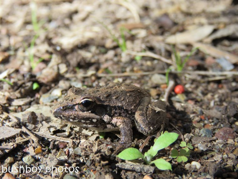 broad-palmed frog_09_named_home_june 2017