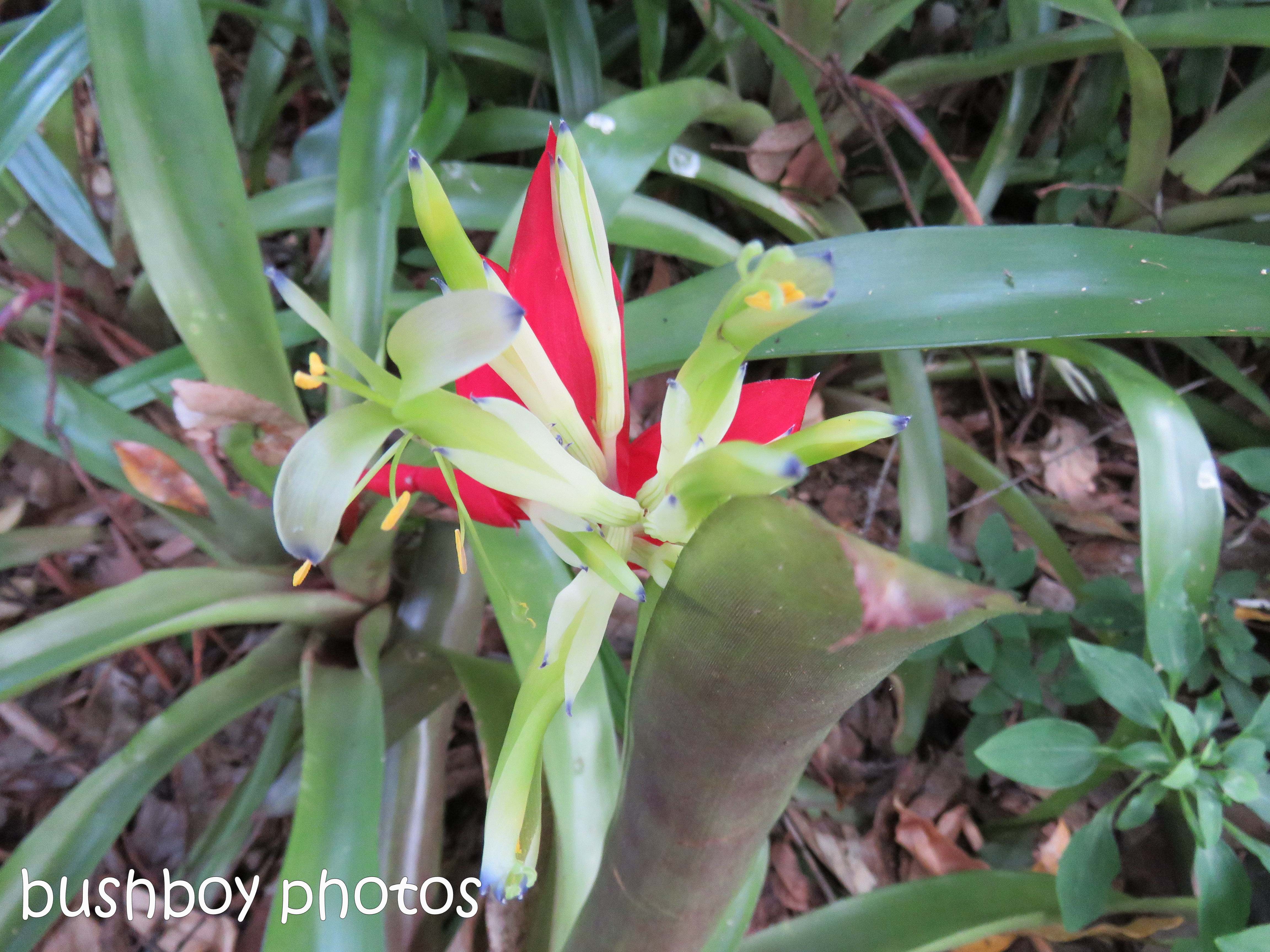bromiliad flower_named_binna burra_june 2017