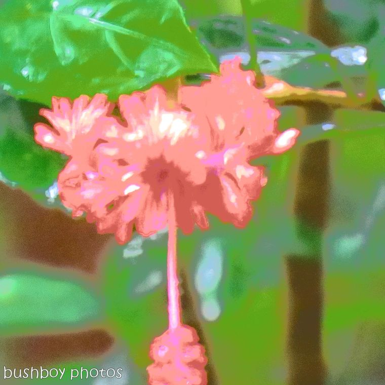 hibiscus flower_changed_named_binna burra_june 2017