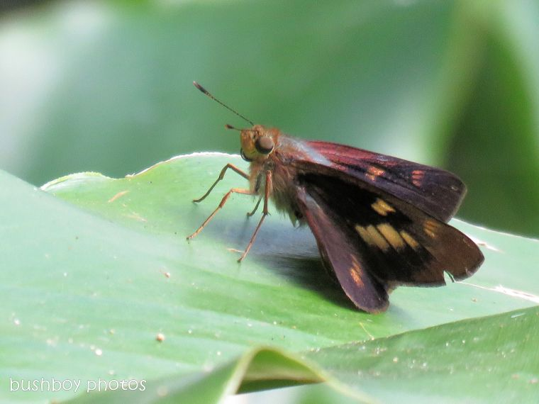orange palm dart01_binna burra_named_june 2017