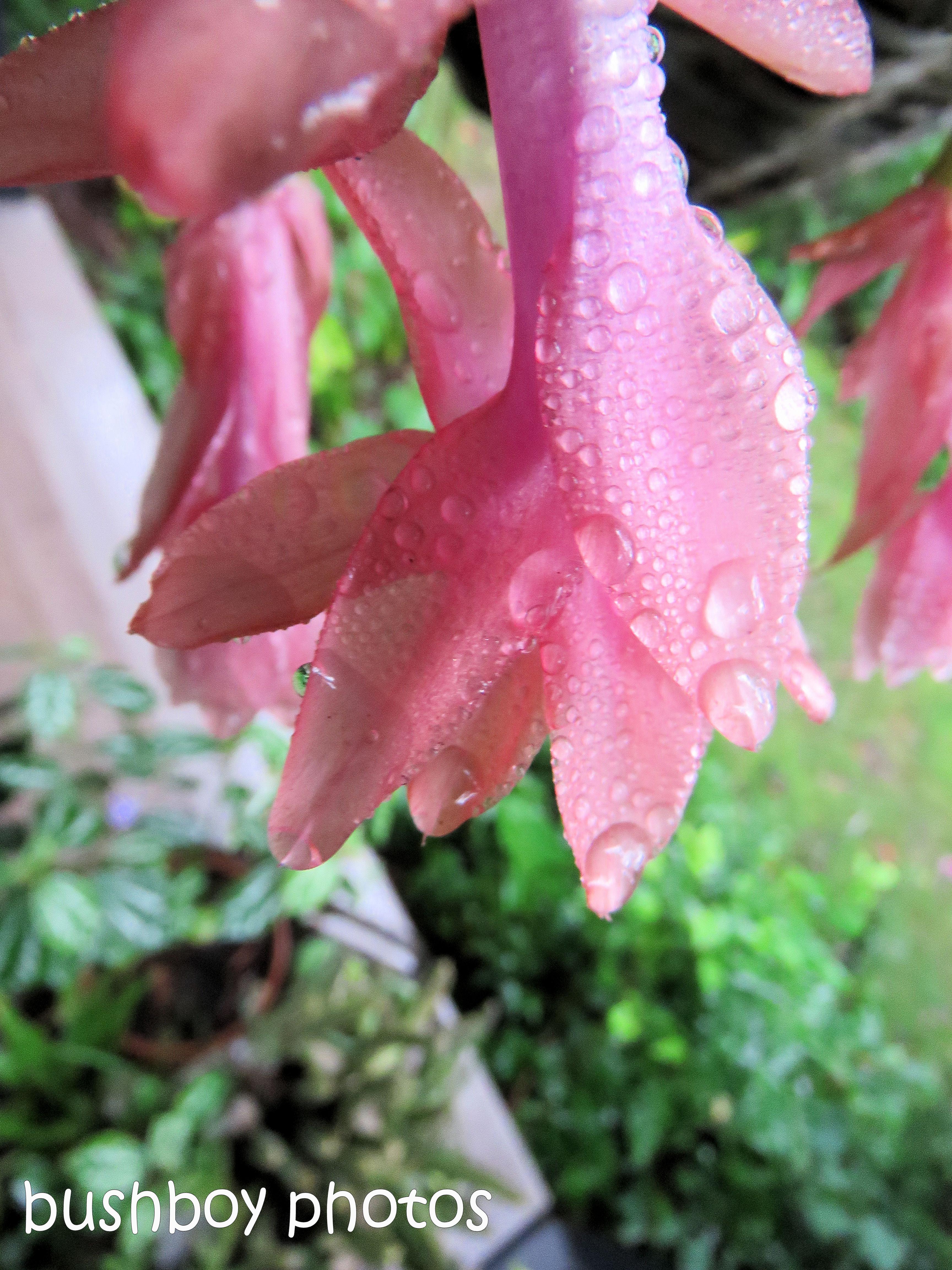 zygote cactus_water drops_named_binna burra_june 2017