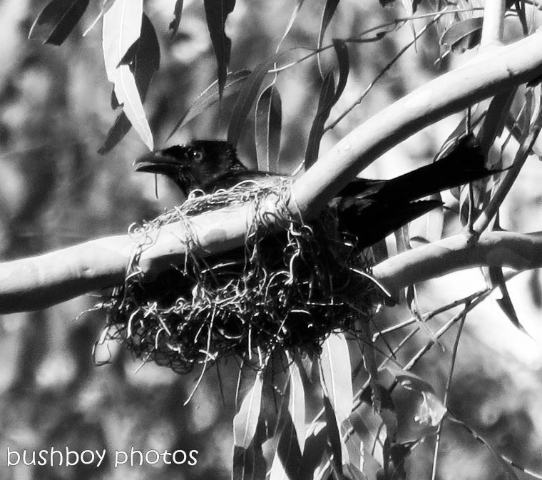 170816_bandw challenge_structure_drongo nest
