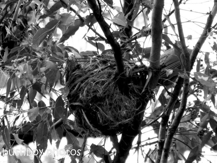 170816_bandw challenge_structure_friarbird nest