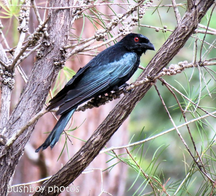 170817_blog challenge_ooh shiney_spangled drongo