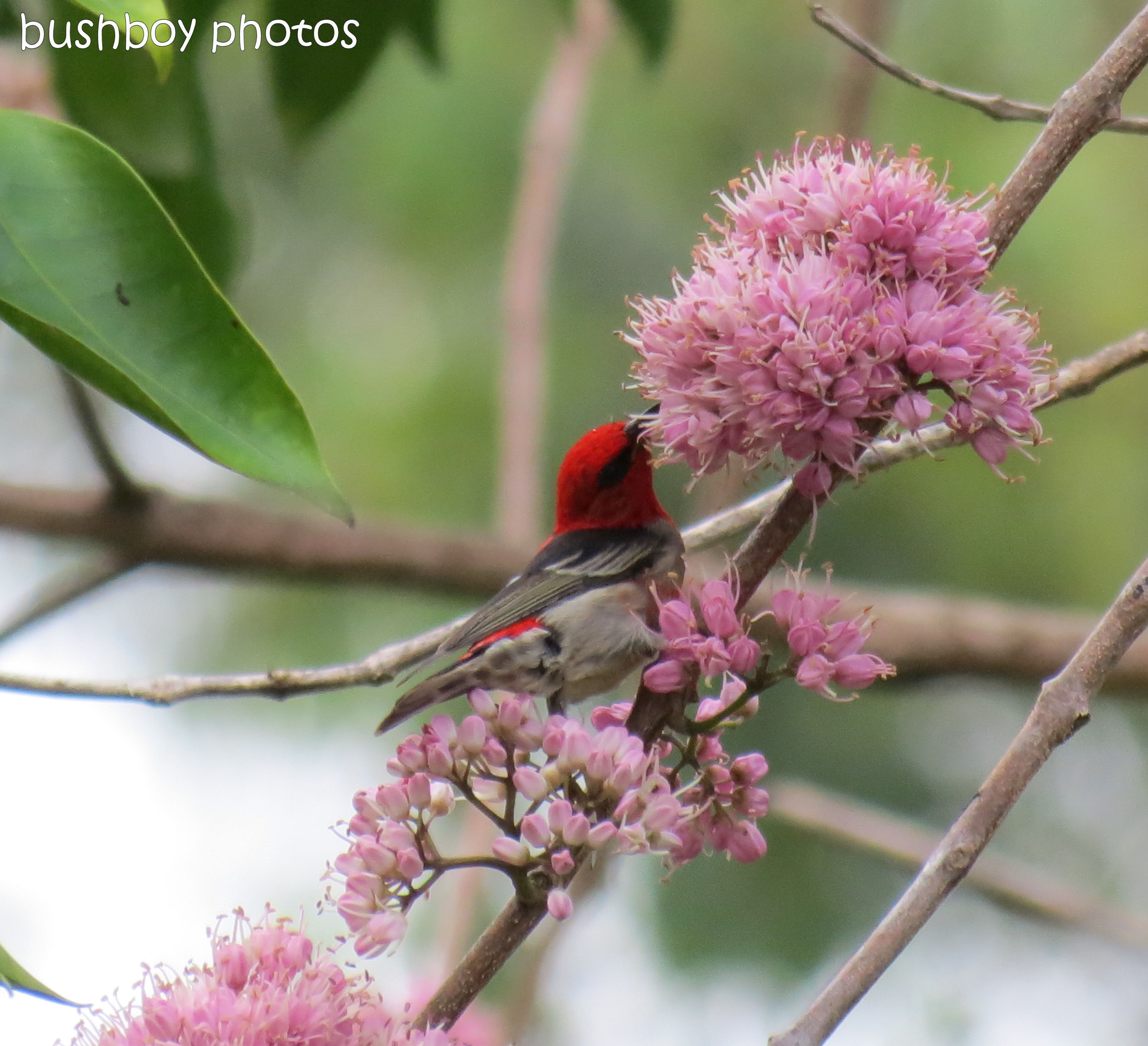 170822_blog challenge_pink_pink euodia_scarlet honeyeater