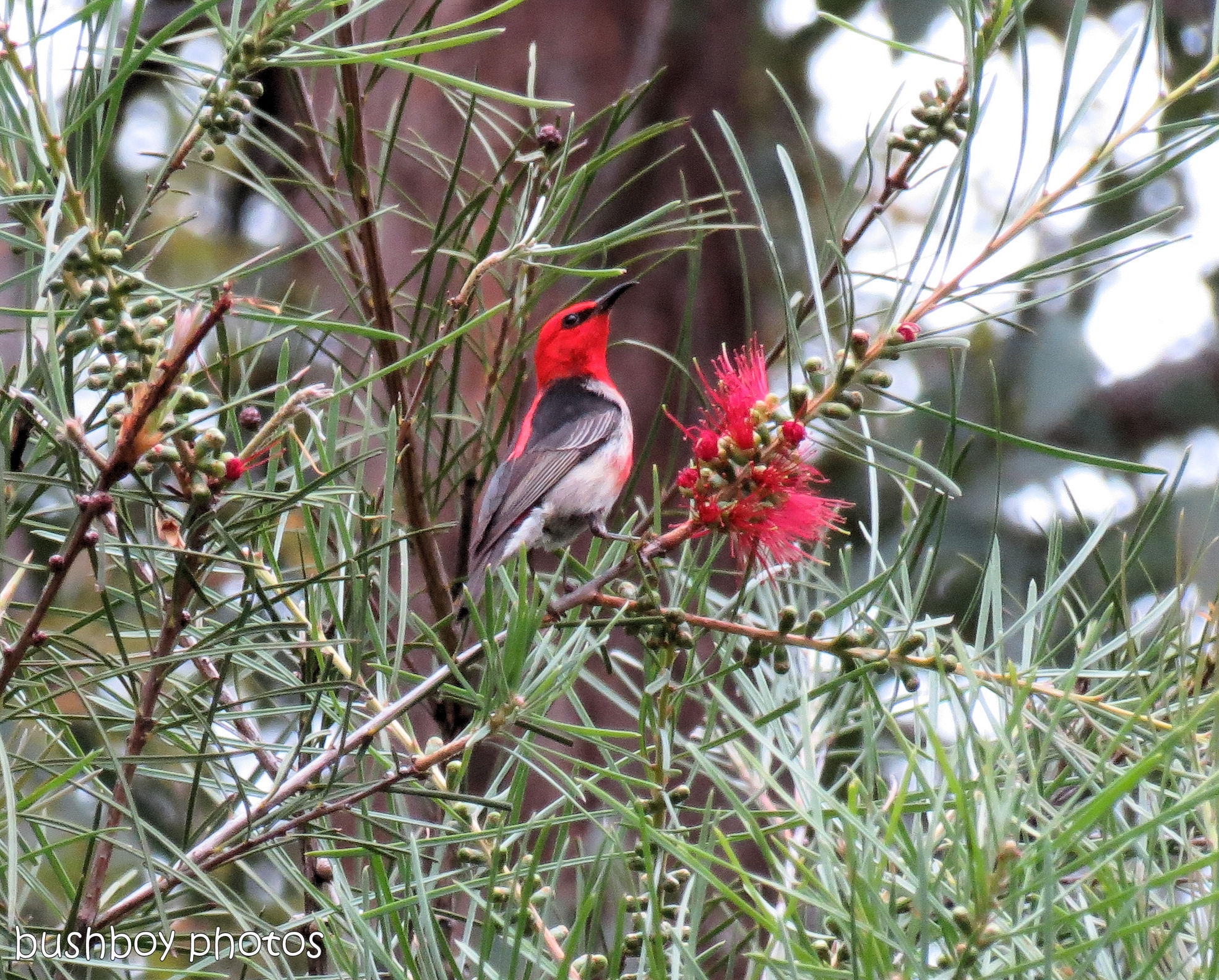 170823_blog challenge_small subjects_scarlet honeyeater 01