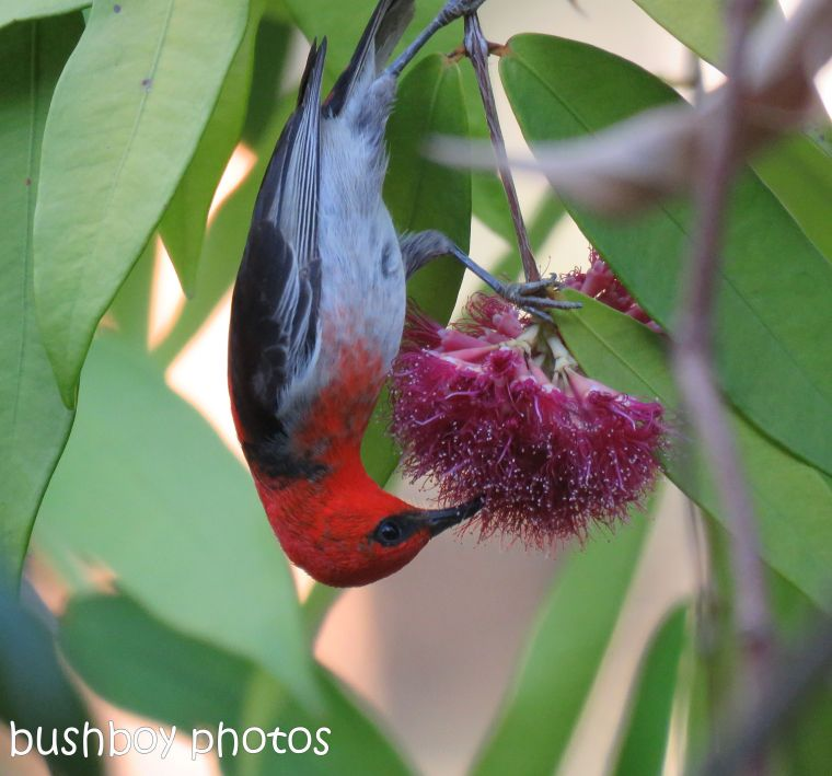 170823_blog challenge_small subjects_scarlet honeyeater 10
