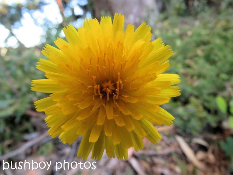 dandelion flower_named_binna burra_july 2017