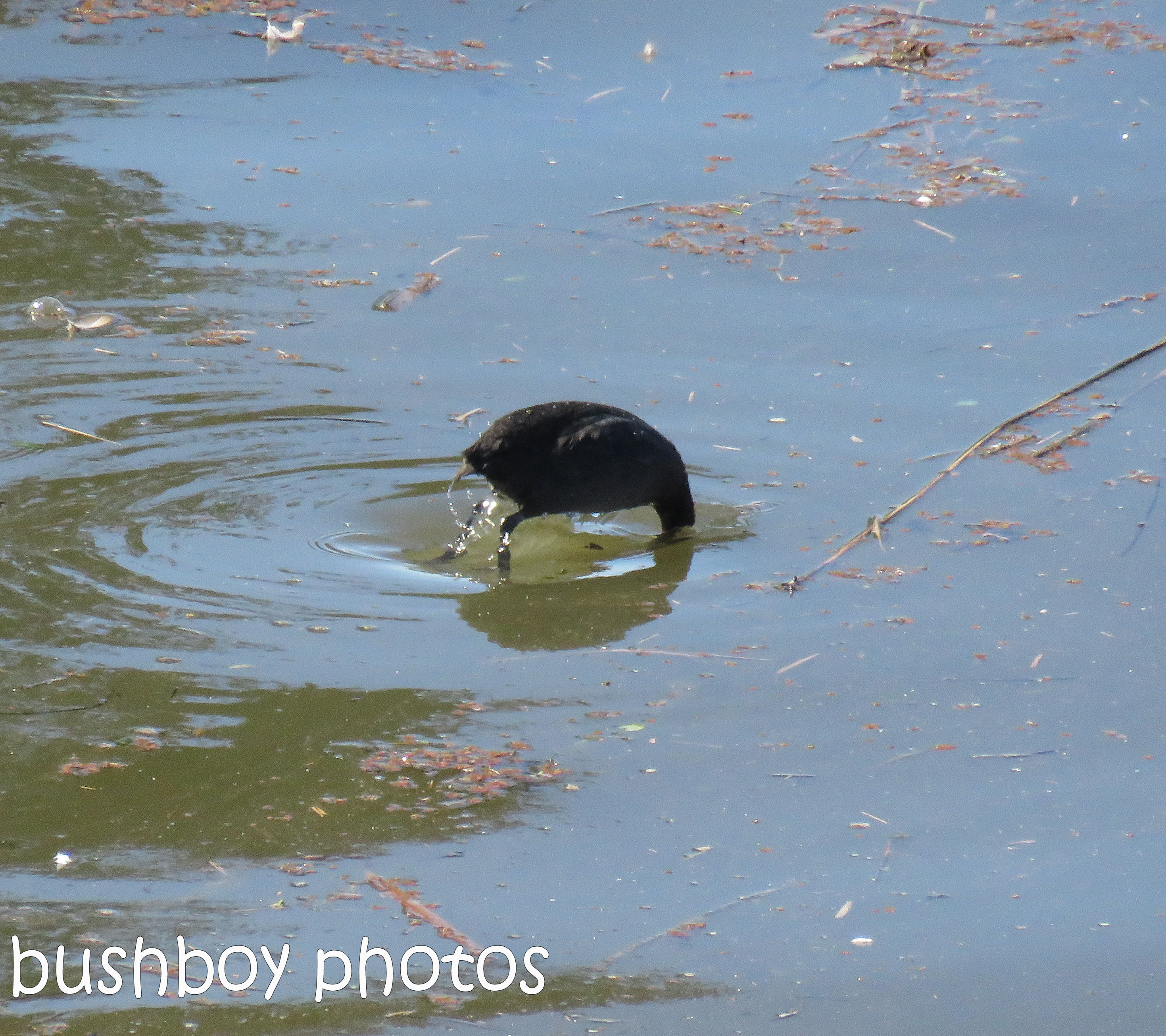 eurasian coot_named_grafton_july 2017