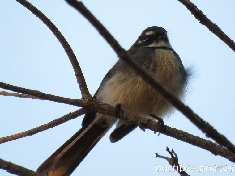 grey fantail_named_binna burra_july 2017
