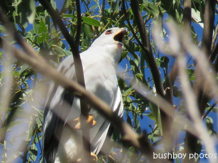 grey goshawk_named_binna burra_july 2017
