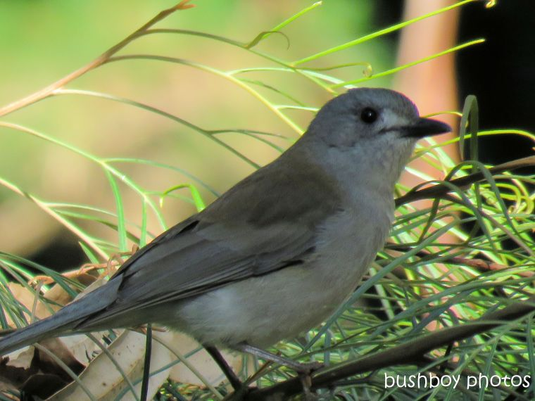 grey shrike thrush_close_named_binna burra july 2017