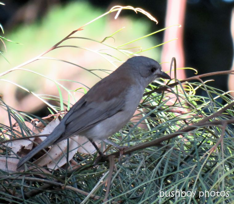 grey shrike thrush_named_binna burra july 2017