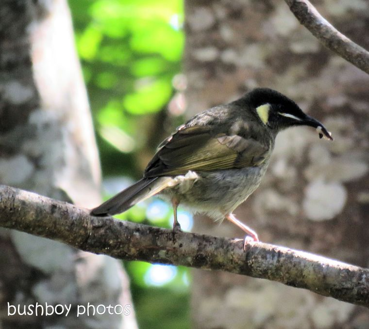 lewins honeyeater_snack_named_binna burra_july 2017